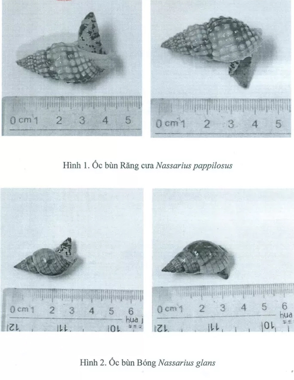 Hai loại ốc lạ gây ngộ độc làm chết người ở Khánh Hòa