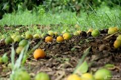 Chưa từng thấy, cam Vinh rụng đầy vườn, đổ đống bên đường