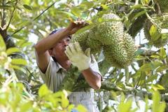 6 loại cây ăn quả Đắk Lắk có mã số vùng trồng