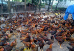 VN's livestock industry grows fast, but problems still exist