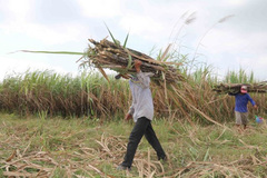 VN sugar firms struggle due to ATIGA
