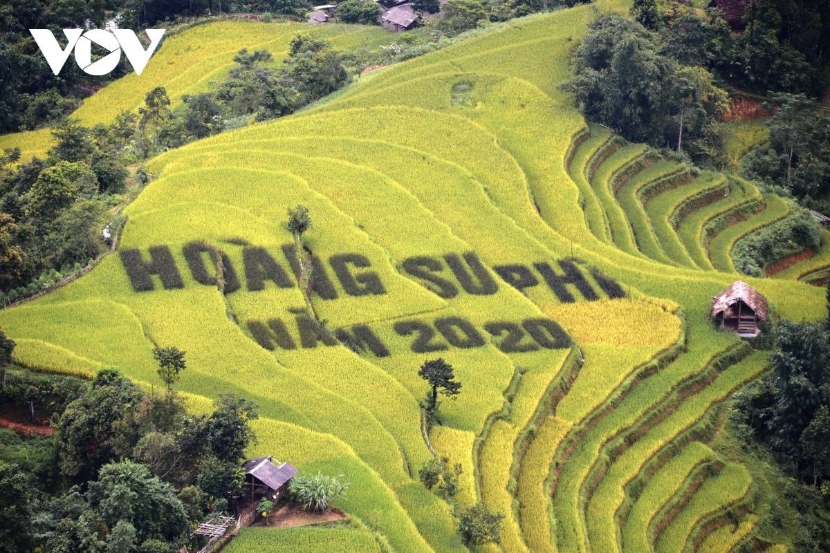 Terraced fields of Hoang Su Phi appear stunning during harvest season