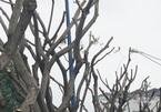 Hàng cây lim xẹt đang tươi tốt bị biến dạng xấu xí trên phố Sài Gòn