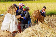 Coming to Mu Cang Chai terraced fields in ripen season