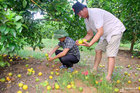 Dân lo thất thu vì cam đặc sản rụng đầy cội