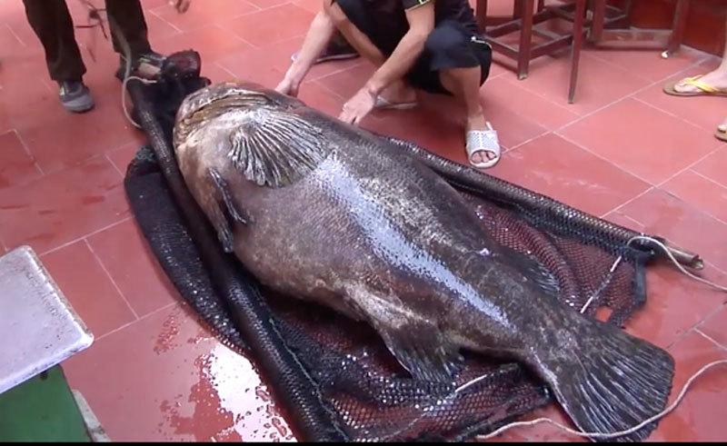Nhà giàu Việt chi trăm triệu đồng mua cá song vang nặng cả tạ về... ăn gỏi