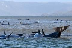 Thảm kịch hàng trăm con cá voi chết dần vì mắc cạn