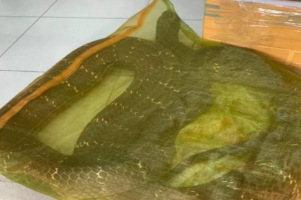 TP HCM: Người đàn ông chở con rắn hổ mang chúa 20kg bon bon trên đường