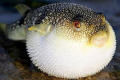 Mổ thịt, xuất khẩu loại cá nóc chứa độc tố cao