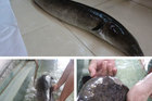 Bắt được 2 con cá lệch 'khủng' trên sông Lam, bán giá 30 triệu đồng