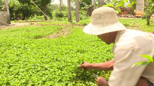 Trồng rau má quanh nhà, mỗi năm thu nhập hàng trăm triệu đồng