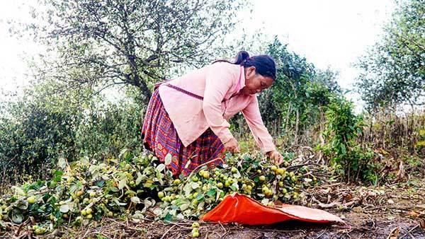Docynia indica season in Son La