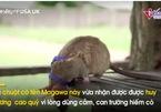 Chú chuột đầu tiên nhận huy chương vì thực hiện nhiệm vụ chết người