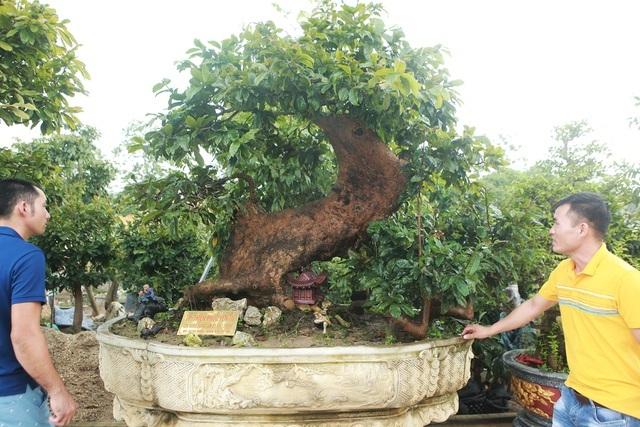 'Cụ' mai vàng Yên Tử 700 tuổi giá 'triệu USD' của đại gia Quảng Ninh