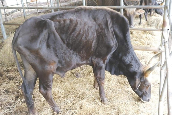 Giải cứu đàn bò tót F1 ở Ninh Thuận gầy trơ xương, suy kiệt
