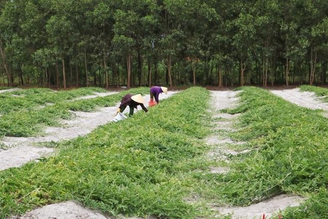 Dưa non tăng giá gấp 3, nông dân 'vét' sạch ruộng cũng không đủ bán