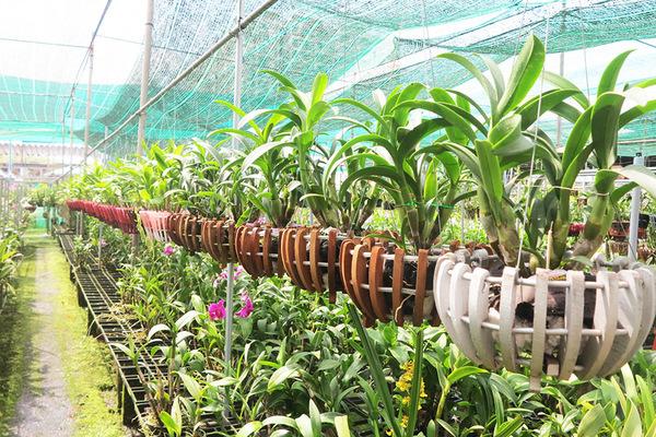 Vườn lan gần 20.000 cây: Tài sản hàng chục tỷ của tay chơi Sài Thành