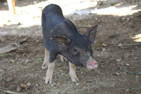 Nhà giàu cuối tuần về bản, bỏ chục triệu mổ con lợn rừng ăn dần