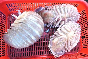 Loài bọ biển bí ẩn ở đáy biển Việt Nam, giá đắt hơn cả tôm hùm