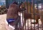 Nhân viên sở thú giằng co, cố rút tay khỏi miệng sư tử