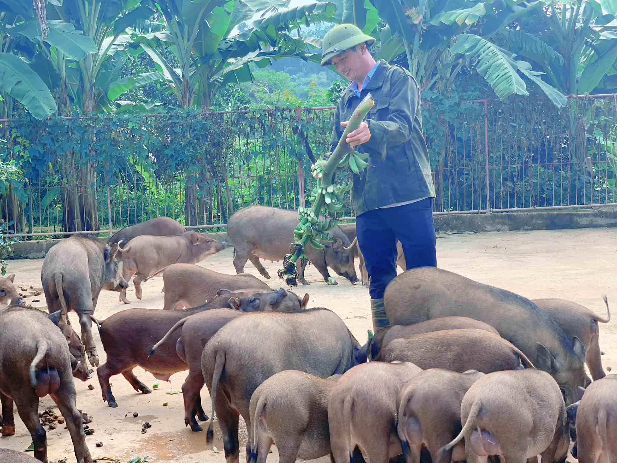 Đàn lợn rừng ăn dược liệu: Anh cán bộ xã thu tiền tỷ mỗi năm