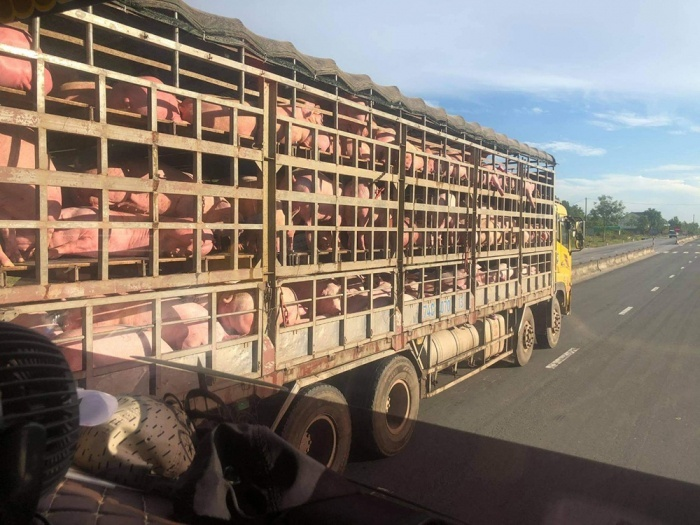 Bi hài thương nhân lỗ tiền tỷ nhập lợn sống từ Thái Lan