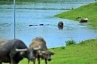 Trâu đàn đằm mình trong kênh dẫn nước thô vào nhà máy nước sạch sông Đà