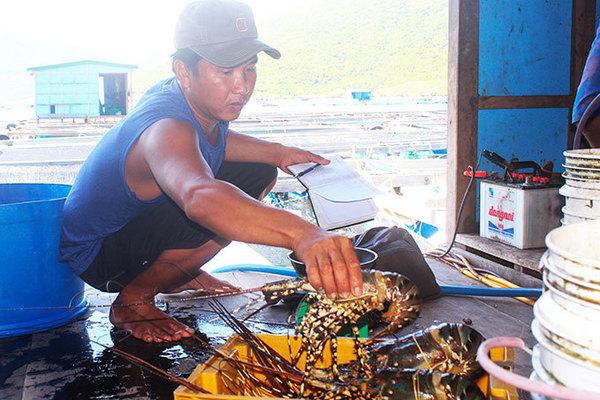 Tôm hùm, ốc hương tăng giá, ngư dân miền Trung tranh thủ bán chạy... bão