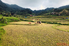 Gold season in Bac Ha rice paddies