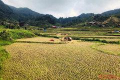 Gold season in Bac Ha rice paddies