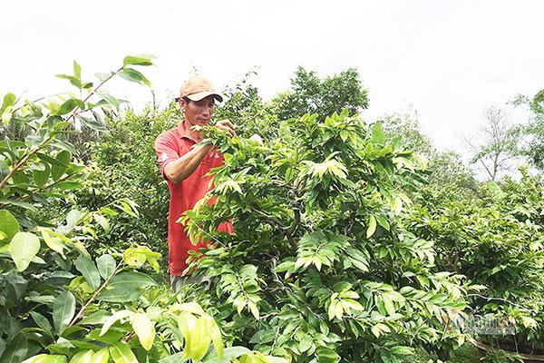 Từ 4 cây mai trồng vì đam mê, anh nông dân thu 5 tỷ/năm