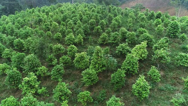 Lạ, ông tỷ phú nông dân trồng loài cây xanh ngắt nhưng ra thứ hoa quý bán đắt như giá vàng