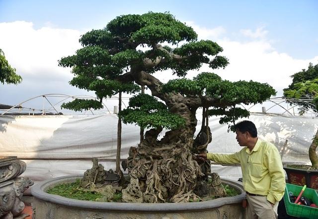 Những cây sanh cổ khiến đại gia mê mẩn, xuống tiền không tiếc tay
