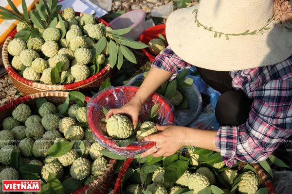 Lang Son,Chi Lang custard apples