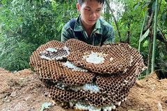 Nghề lạ mới nổi: Nuôi ong kịch độc lấy thịt, thương lái lùng mua
