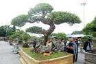 Sửng sốt với cây khế cổ dáng long đẹp nhất Việt Nam có giá 5 tỷ đồng