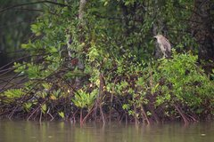 HSBC cùng WWF-Việt Nam tái sinh 150 ha rừng ngập mặn tại Cà Mau