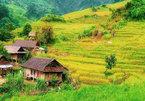 Yellow season in Kon Tum Province