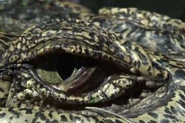 Cá sấu 'khủng' đột nhập nhà dân trong mưa bão