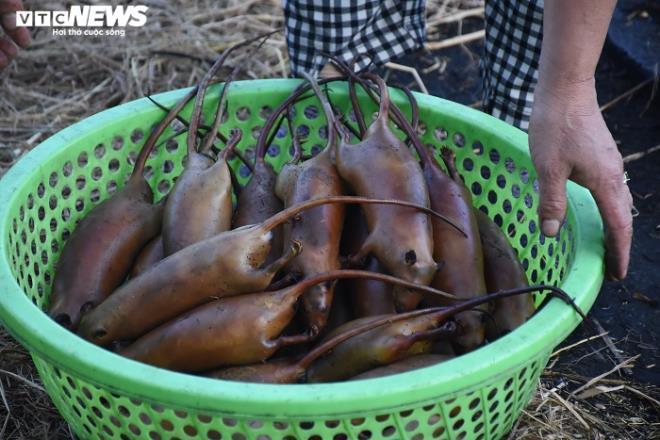 Làng bắt chuột đồng ở Hải Dương ngày chính vụ làm đến đâu hết đến đấy