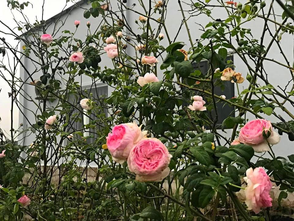 Cậu bé bóc mít thuê năm nào giờ là ông chủ vườn hồng đẹp như cổ tích