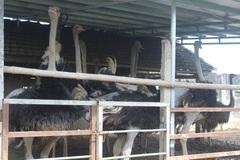 'Đánh liều' nuôi chim khổng lồ, lão nông không ngờ lãi 500 triệu đồng