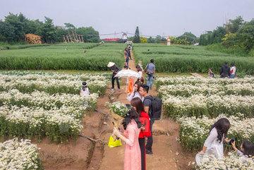Blossoming daisies charm Hanoians