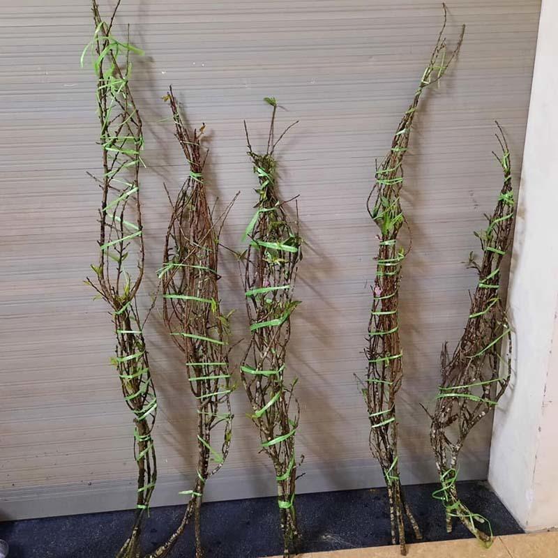 Năm nay rất lạ: Đào rừng nở giữa thu, Hà thành tới tấp đặt mua