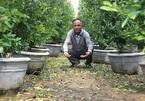 Xót xa hàng nghìn cây quất Tết của người dân Hội An héo úa do mưa lũ