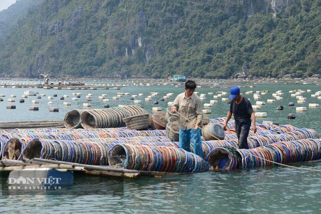 Khổ, hơn 100.000 tấn ngao, hàu, tôm, cá đã to lắm rồi nhưng nông dân 'nhấp nhổm' vì điều này