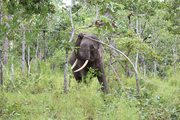 Life differs from lore for elephants