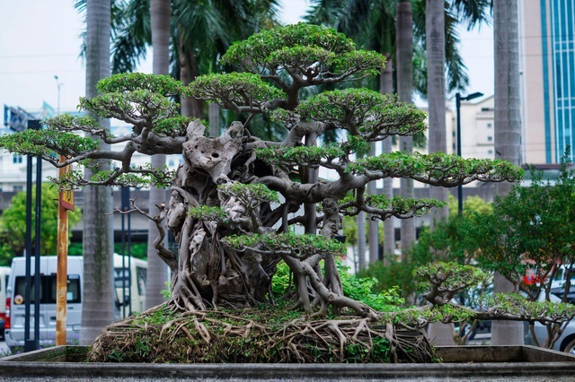 Mãn nhãn với cây sanh cổ song thân, đẹp từng centimet của đại gia Hà Nội