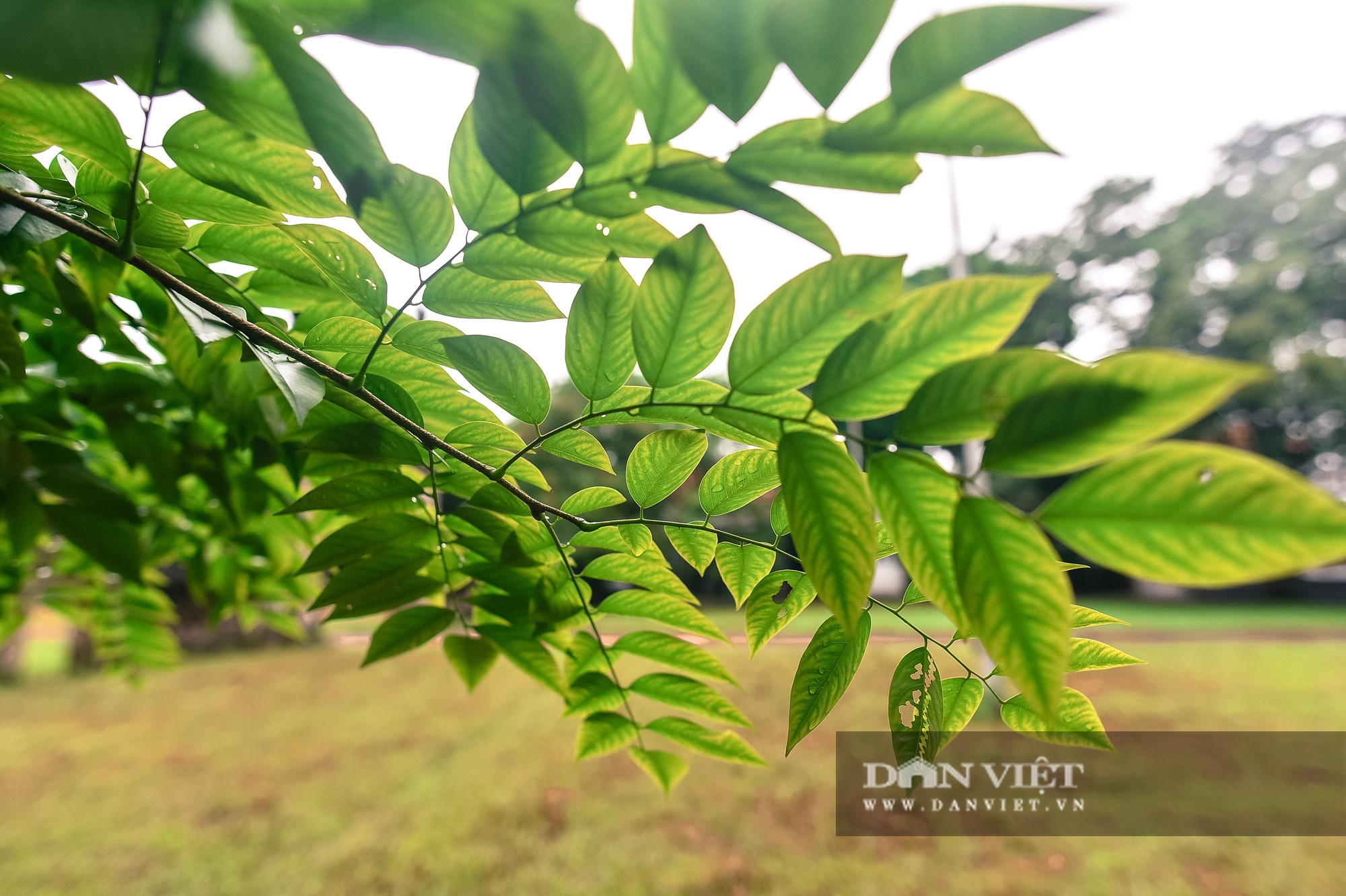 Chiêm ngưỡng cây sưa trăm tuổi ở Hà Nội, giá 60 tỷ đồng nhưng không bán