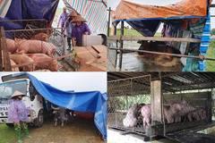 Cảnh tượng nuôi lợn, trâu bò mùa lũ chưa từng thấy ở Nghệ An